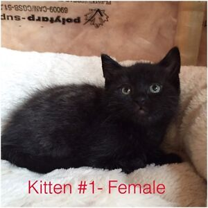 Rescue Kittens- 6 Weeks Old- Come Fully Vetted :)