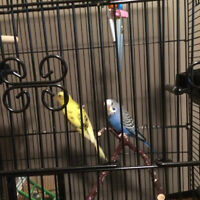 Two Female Budgie Birds, Bird Cage and all Accessories