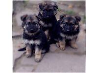 Long & Short coat German Shepherd puppies