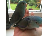 Super tame baby celestial parrotlets