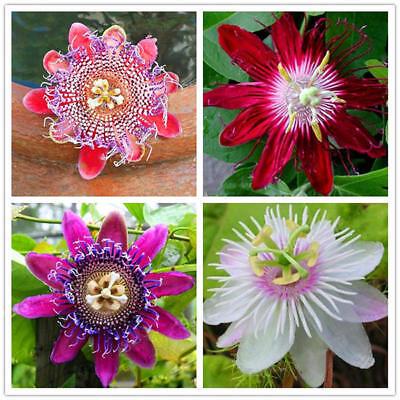 100pcs Passionsblume Samen Garten Rare Passiflora Incarnata Obst Pflanzen Samen ()
