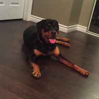 ROTTI pup for sale
