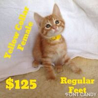 Orange Tabby Kittens. 8 weeks. Vaccinated Dewormed. Ready to go.