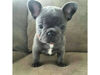 French bulldog puppy for sale ready to go now