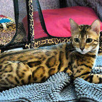 TOP QUALITY TICA REGISTERED BENGAL KITTENS AVAILABLE