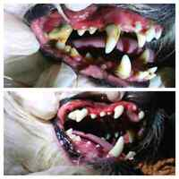 Dog Anesthesia Free Teeth Cleaning