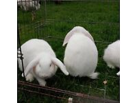 White lop eared rabbits for sale