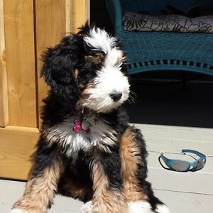 F2 Bernadoodle Puppies Tri colours and black and whites!