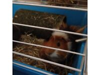 2 Guinea Pigs for Sale with cage and accessories