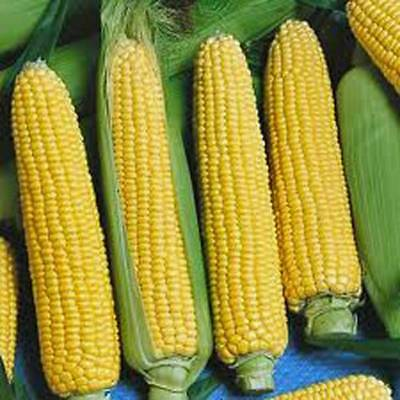 CORN SEED, GOLDEN BEAUTY SWEET CORN, HEIRLOOM, ORGANIC, NON GMO, 100+ (Non Gmo Corn)