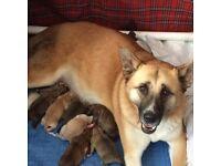 Husky x Akita huskita American Japanese spitz hound not German shepherd