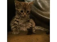 Baby bengal girl ready now