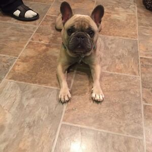 Rare Blue Fawn French Bulldog