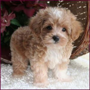 I AM LOOKING FOR SHIH TZU/MALTESE/ BICHON FRISE MIX PUPPIES