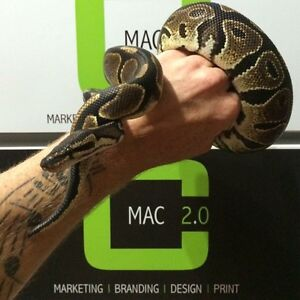 Female Ball Python with Tank