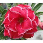 Desert Rose Deals