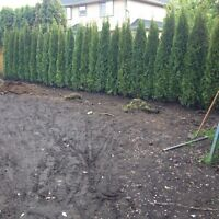 Cedar Hedging For Sale Vancouver and installation, Hedge removal