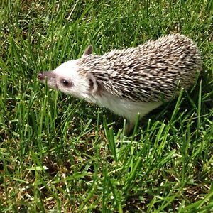 Female hedgehog + supplies for sale