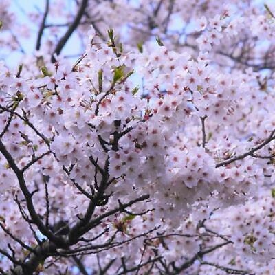 Yoshino Flowering Cherry Blossom Tree -
