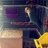 Love Bird with Cage, food, and acc