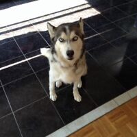 Need to rehome our 5 year old female husky