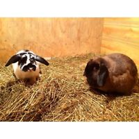 Two Adult Holland Lops for Adoption