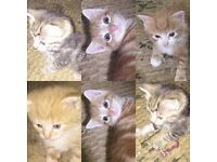 3ginger males and tabby female for sale