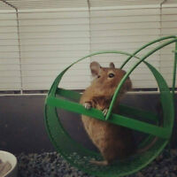 2 Degu's For Sale
