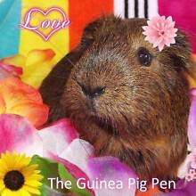 The Guinea Pig Pen Capalaba Brisbane South East Preview