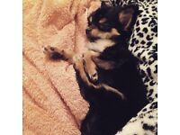 Teacup chihuahua long haired baby girl