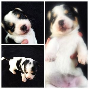 Jack Russell Pomchi cross puppies looking for their furever home