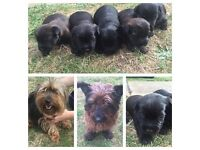 Yorkshire terrier X cairne terrier puppy's ready to go