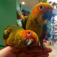 Beautiful handfed Sun Conure babies!