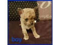 Teacup male puppy