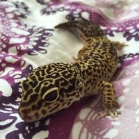 Breeding pair of leopard geckos