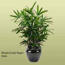 Rhapis / Lady Finger Palm  (Lady Finger Palm) St Clair Penrith Area Preview