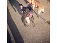 KC Registered Male French Bulldog