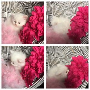 Persian Kittens Available London Ontario image 2