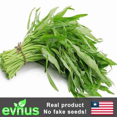 100pcs Thai Water Spinach Seeds Ong Choy Kangkong Kong Xin Cai Vegetable