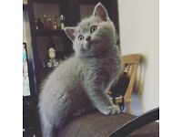 British Short Hair kittens looking for new home