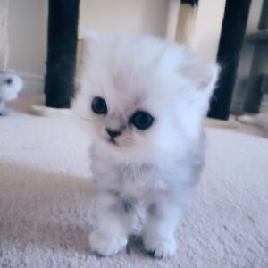 Gorgeous Chichilla Kittens Available