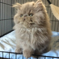CFA REGISTERED EXTREME PERSIAN KITTEN AVAILABLE