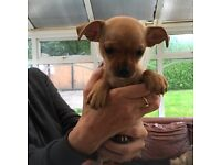 Chihuahua Puppies for sale!!