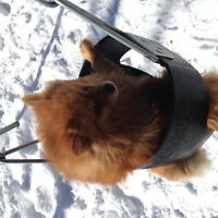 purebred pomeranian looking for loving new home