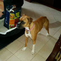 Beautiful 16 month old female boxer needs a home