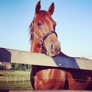 Registered Quarter horse for sale Cambridge Kitchener Area image 1
