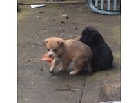 Rottweiler/husky pups for sale £60
