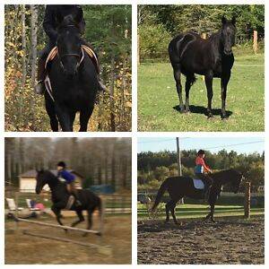 14 yr old appendix mare for sale