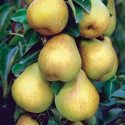 6 Bartlett Pear Tree Plant Cuttings For Rooting And Grafting Great Producer