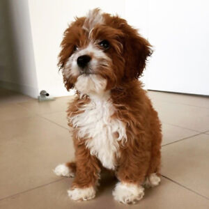 looking for a cavoodle breeder